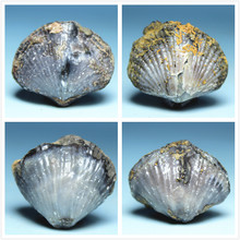 Guangxi production windowless shell fossil stone specimens teaching specimens of fossils mineral collections science