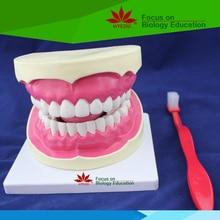 Medical teaching supplies biological Anatomy biological Giant  teeth  model
