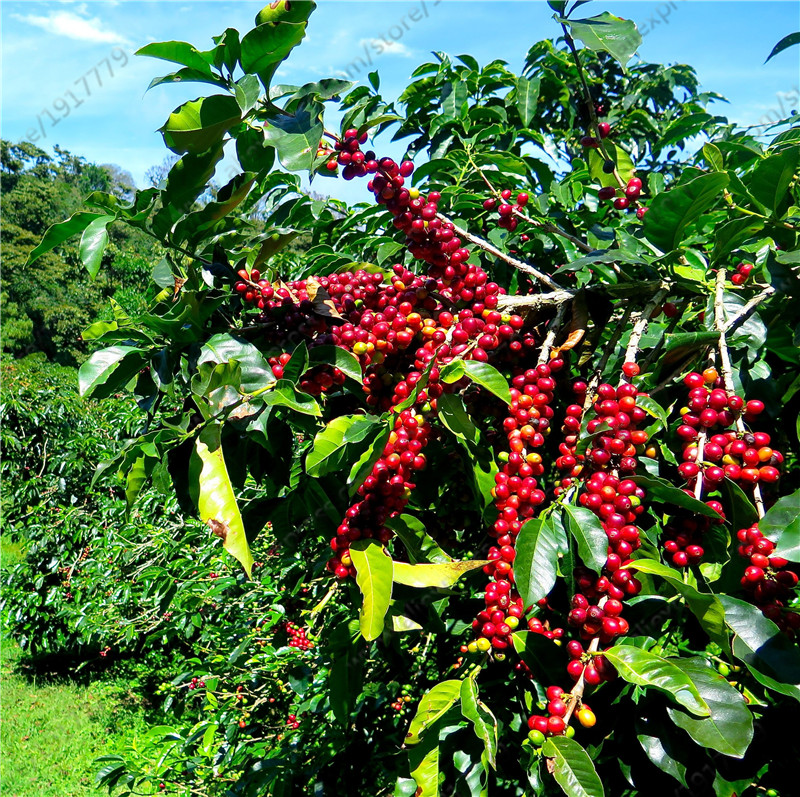 Coffea arabica seeds perennial fruit coffee tree seeds for for Coffea arabica
