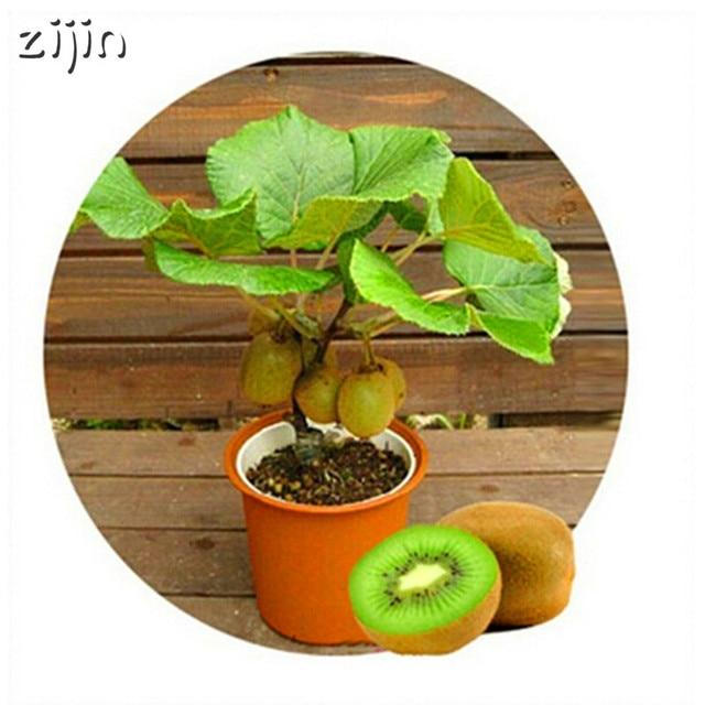 100 piezas Mini Kiwi fruta bonsái Tailandia Kiwi plantas de fruta plantación de flores delicioso kiwi vegetal hogar jardín