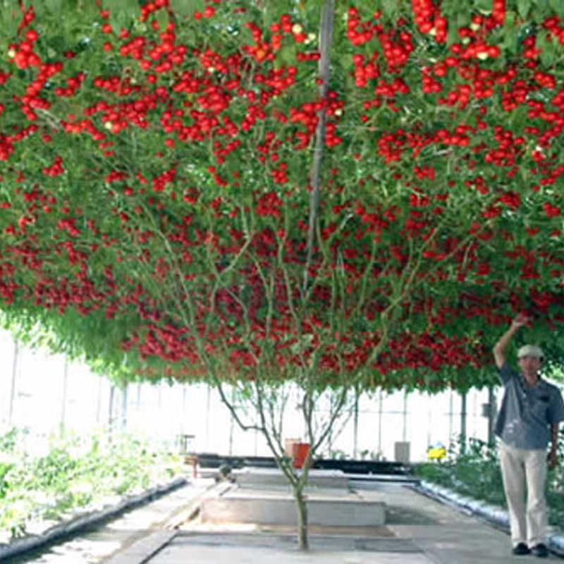 Gigante Árvore de Tomate da herança 200 Saudável E Delicioso Nutritivos Frutos Comestíveis