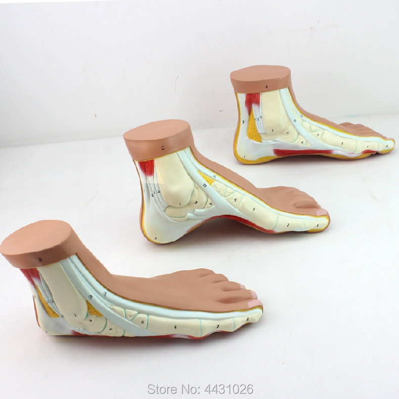 ENOVO A model of the foot arch model of the foot arch model of normal foot foot model human foot palm muscle model arch foot model foot anatomy