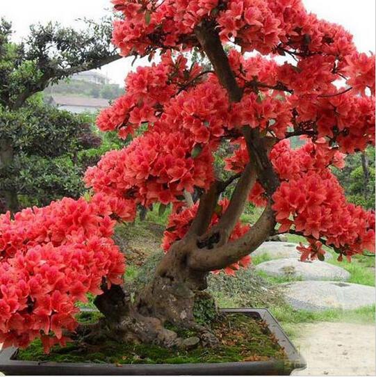 sakura bonsai baum-kaufen billigsakura bonsai baum partien aus,
