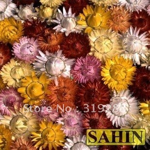 10pcs/bag Straw chrysanthemum flower Seeds mixed colour DIY Home Garden