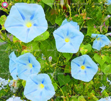 50pcs mixed morning glory seeds Rare climbing flower seeds Perennial plants for home garden decor Best packaging Easy to grow