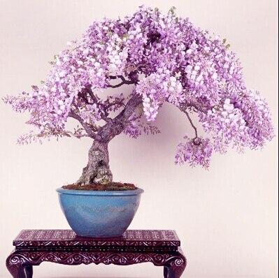Бесплатная доставка Сирень мини бонсай глицинии дерево Семена Крытый декоративных растений-10 частиц ...