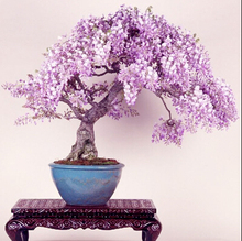 Free shipping  lilac mini bonsai wisteria tree seeds Indoor ornamental plants – 10 particles