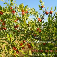 Jujube fruit plant pit spine Ziye plant shanzao plant Ge pin real locations 200g / Pack