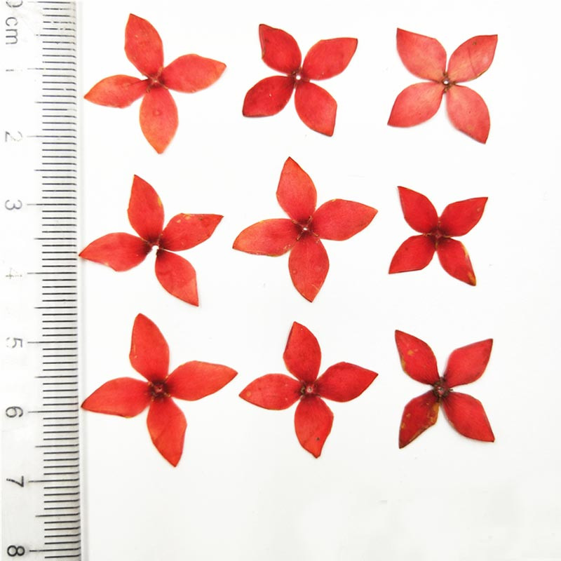 2018 latest original red ixora dried pressed flower paper art gifts 2018 latest original red ixora dried pressed flower paper art gifts for postcard decoration 200 pcs free shipment in artificial dried flowers from home mightylinksfo