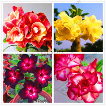 Пустынная Роза бонсай горшечные цветы сад Adenium Obesum Цвет опционально настоящие растения в натуральной стрельбе 5 частиц/лот