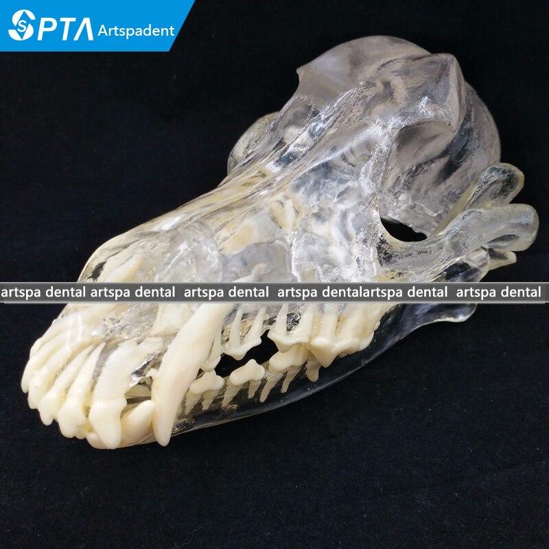 Chien Modèle de Dentition chien dents crâne mâchoire solution transparente rabotage l'enseignement Vétérinaire modèle Animal spécimens