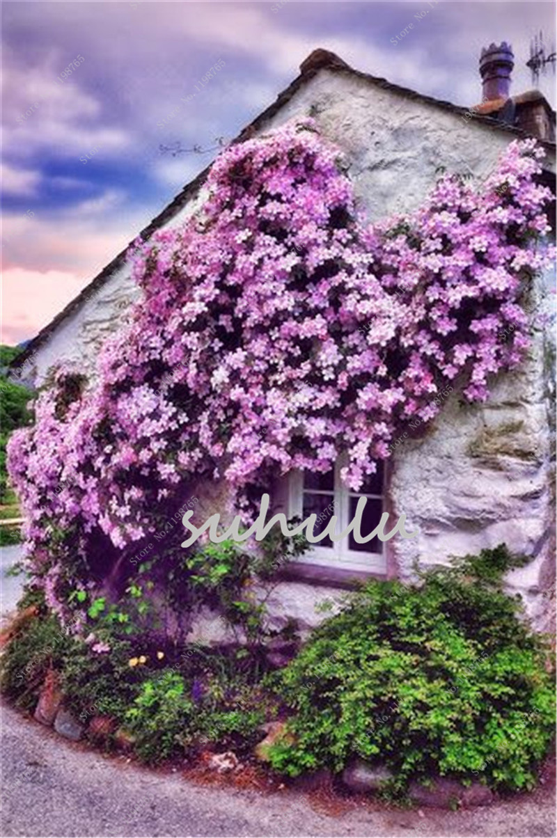 100 Pcsbag Clematis Seeds Mixed Flowers Clematis Vine Seeds
