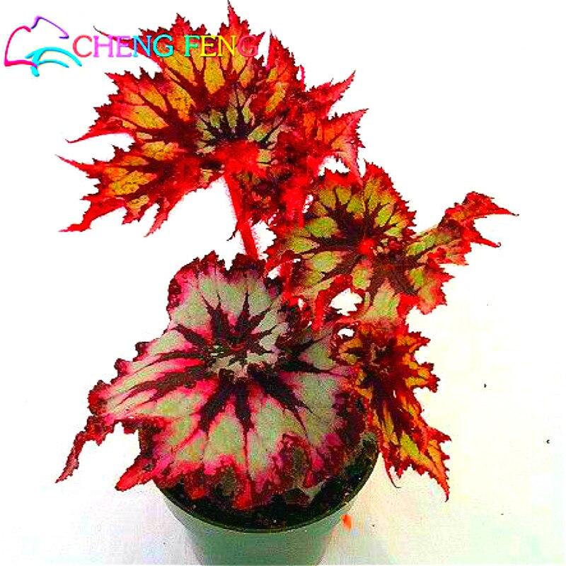 Vendita semi di fiori da giardino 50 pz drago coleus for Vendita semi fiori