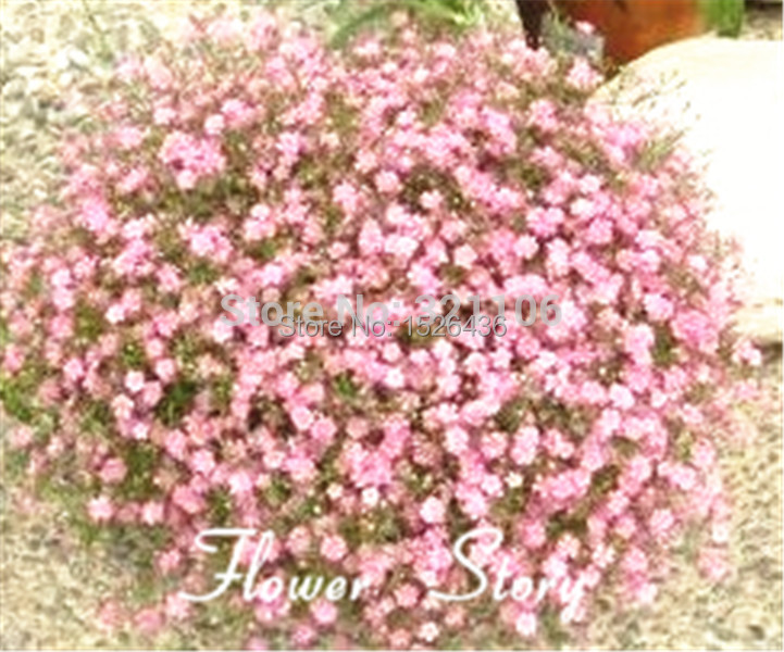 free shipping 50 pink gypsophila seeds babys breath rare color
