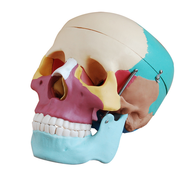 1:1 color head model, the natural human,skull, adult head, the anatomy of the medical skeleton head skeleton model