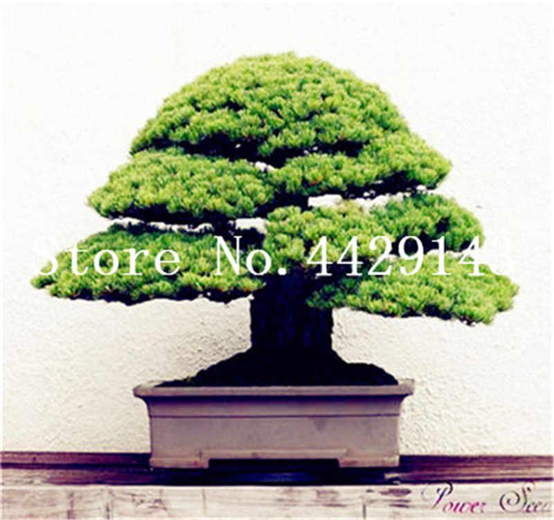 Bộ 50 đen Nhật Bản gỗ thông tự nhiên trong nhà cây cảnh cây gỗ thực vật lâu năm cho khu vườn nhà trang trí tốt nhất bao bì
