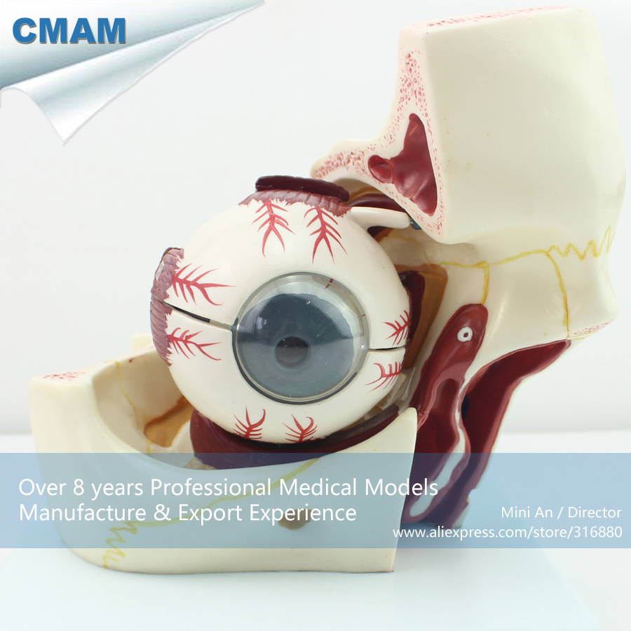 12527 CMAM-EYE03 Human Eye with Orbit Model - Giant Eyeball and Eyelid Anatomy, Medical Science Educational Anatomical Models 12400 cmam brain03 human half head cranial and autonomic nerves anatomy medical science educational teaching anatomical models