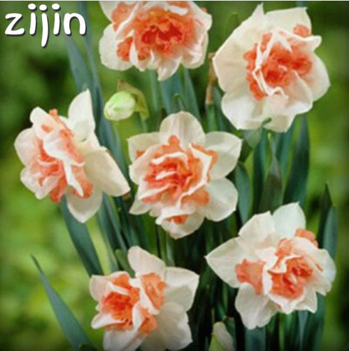 100Pcs Narcissus Flower Bonsai Daffodil Double Petals Absorption Radiation Potted DIY Home Garden Planting 2