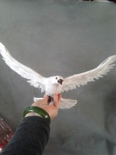 large 36x28cm simulation dove model toy polyethylene & feathers spreading wings dove ,handicraft ,props, home decoration t375