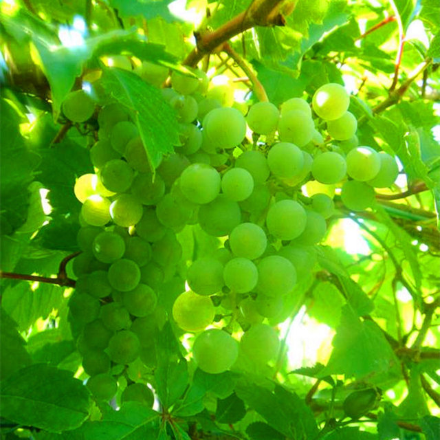 Grape Vine Seeds, Giant Organic Sweet Grape seeds, 50pcs/pack