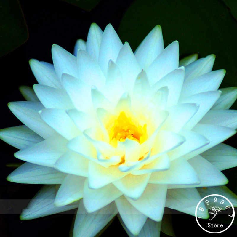 Büyük Indirim! 1 adet/paket, Büyük Kar Beyaz Lotus Çiçek Nelumbo Gövde Bitkiler Bonsai, # AUXZFL