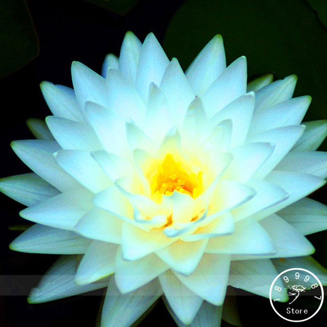 Hot sale1 seed pack big snow white lotus flower nelumbo pond hot sale1 seed pack big snow white lotus flower nelumbo pond plants mightylinksfo Image collections