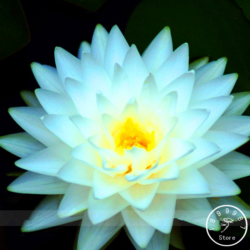 Compare prices on white lotus flower online shopping buy for Lotus plant for sale