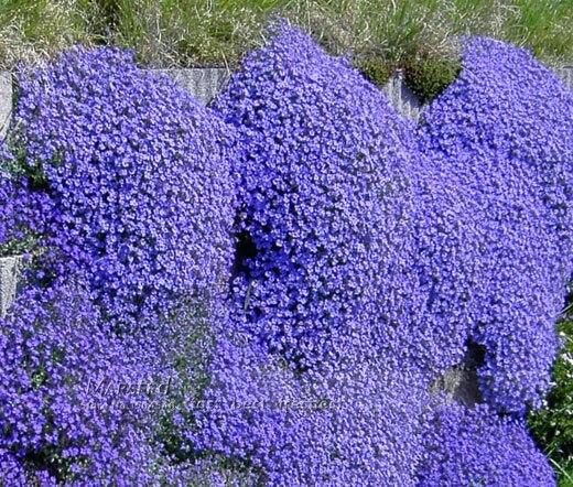 ⑤50+Rock Cress,Aubrieta Cascade Purple Flower Seeds, Deer