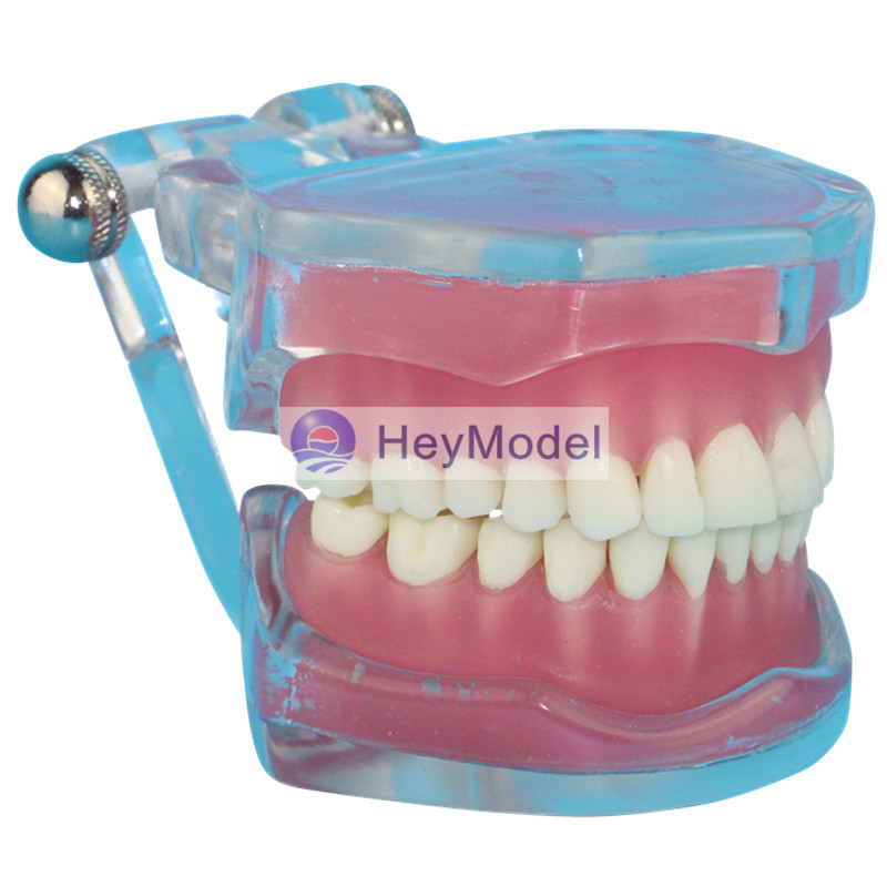 HeyModel Transparent Full Mouth Removable Teeth Model