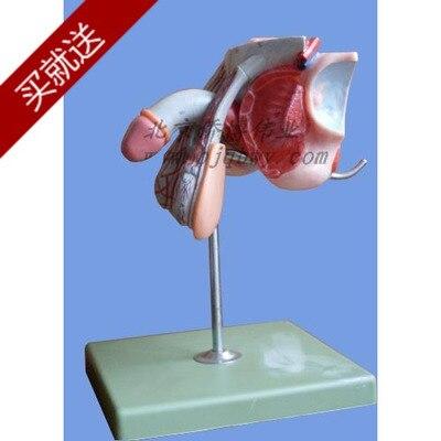 R 605 06 15 De Desconto 12 5 Cm 18 Cm 16 5c órgãos Reprodutores Masculinos Modelo De Estrutura De Tecido Do Sistema Urinário órgãos Reprodutivos