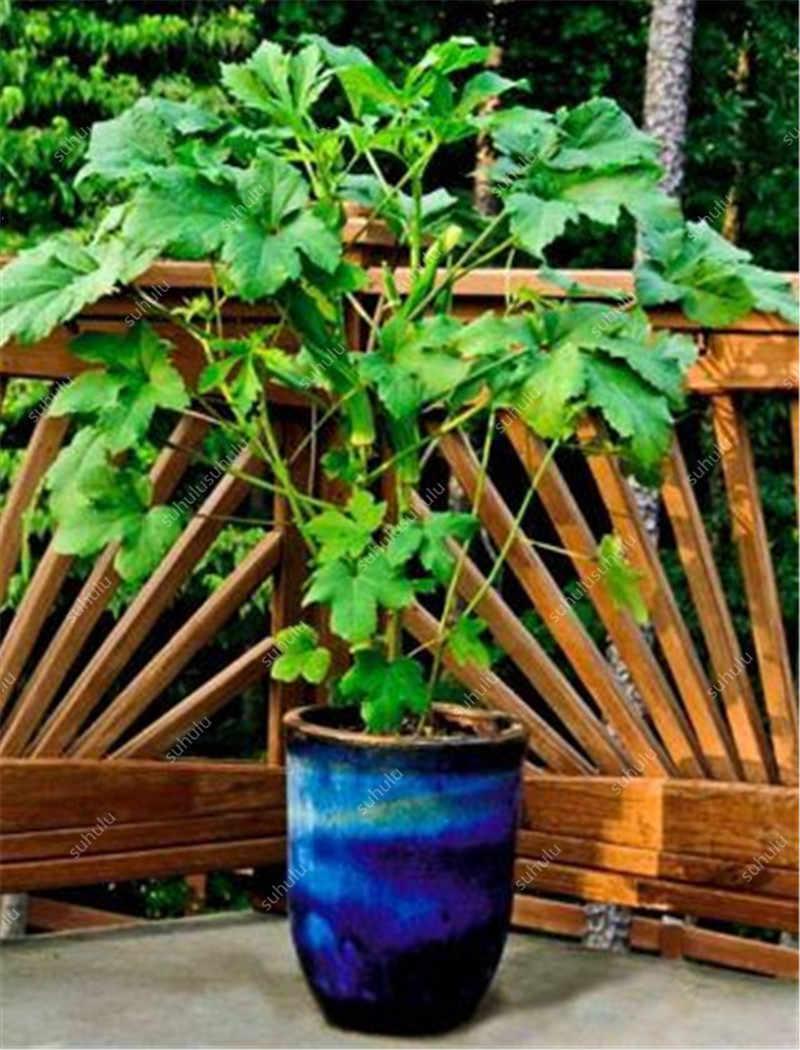Nuovo Arrivo Organic 50 pcs Gombo bonsais Non-OGM Buona Per Rene Forniture Da Giardino Per Il Divertimento Campagna Giardino, il Tasso di Erba 97%