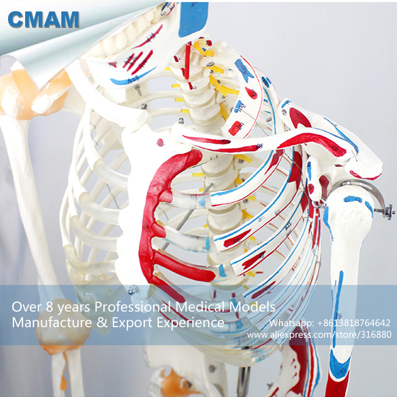 12363-1 CMAM-SKELETON03-1 Life Size Medical Flexible Skeleton with Muscles and Ligaments, 170cm Skeleton Model цена