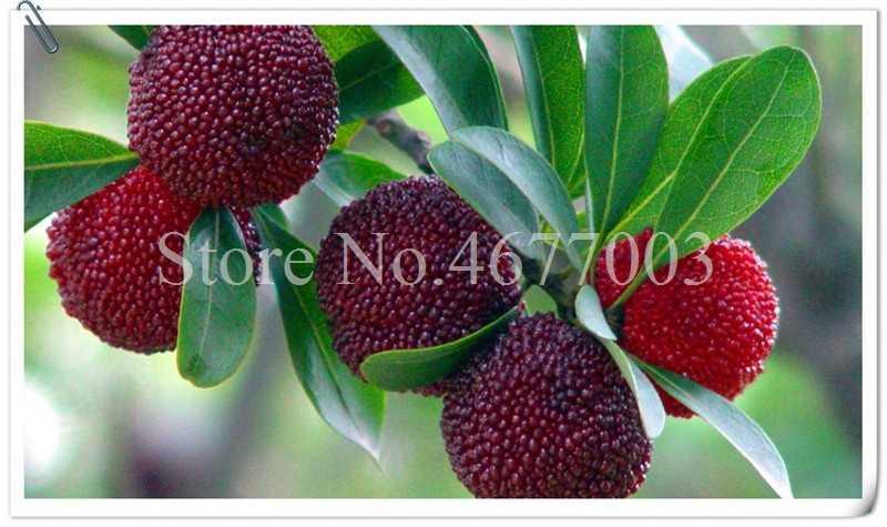 15 pcs Medronheiro Frutas Myrica Rubra Bonsai Bayberry Vermelho Flor Perene Jardim Doce Fruit Tree Planta Taxa de Germinação de 95%