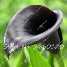 100 PCS True Calla Lily Seeds, (not Calla Lily Bulb), Rare Dark  Elegant Noble Flower, Easy Grow for Home Garden Free Shipping
