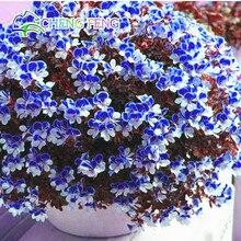 Two-color Red White Univalve Geranium Seeds Perennial Flower Seeds Pelargonium Peltatum Seeds For Indoor Rooms 20 Seeds / Bag