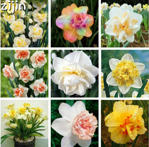 100Pcs Narcissus Flower Bonsai Daffodil Double Petals Absorption Radiation Potted DIY Home Garden Planting 5