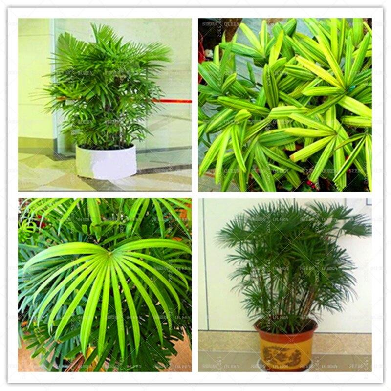 ᗑ50 semillas/paquete de semillas de plantas de follaje, Excelsa ...