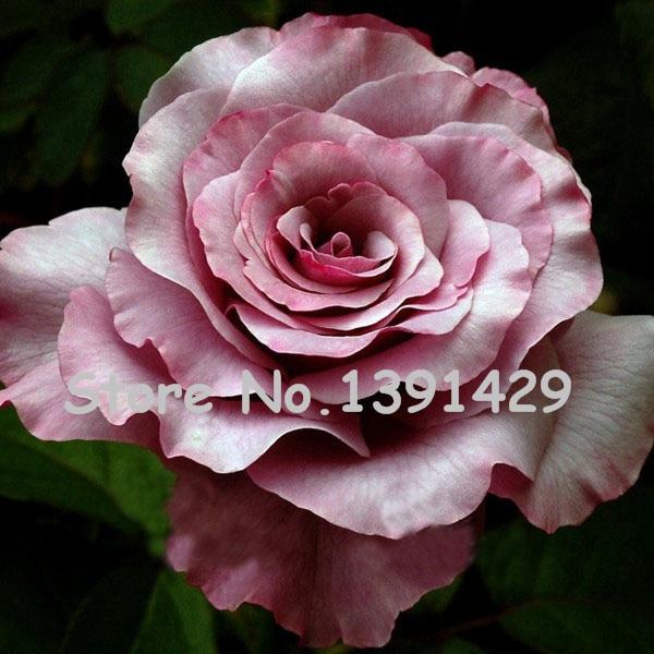 11.11 On Sale!!! 120 Neptune Rose Seeds Fresh Fragrance Beautiful Color DIY Home Garden Bush Bonsai Yard Flower Free Shipping