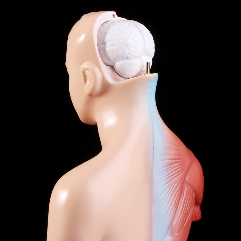 Modelo anatômico do corpo de torso humano, modelo de corpo anatômico para órgão médico interno para ensino, estoque na fonte 3