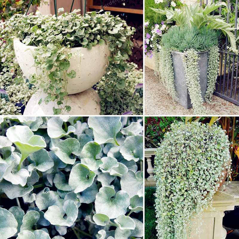 Dichondra Repens Silver Falls Emerald Falls Ground Cover Bonsai In Hanging Baskets Very Creative Beautiful Potted Plants 100Pcs 流水 盆 養魚