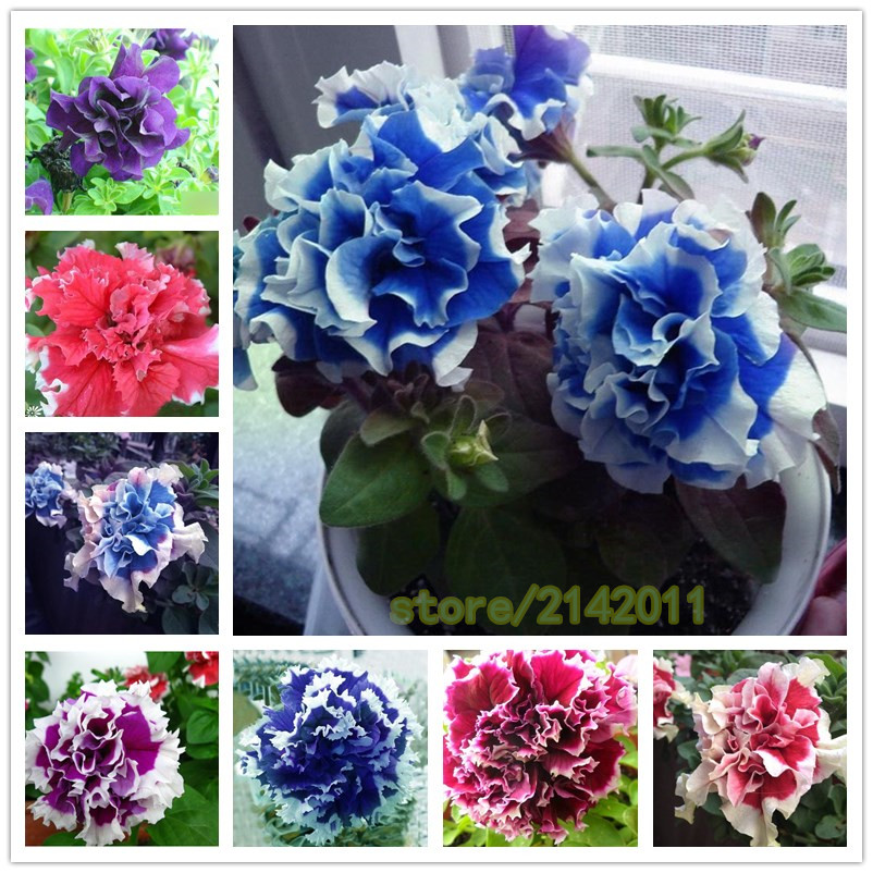 100 pcs/bag blue petunia seeds, flowers petunia, beautiful bonsai flower seeds, Natural growth petunia plant pot for home garden