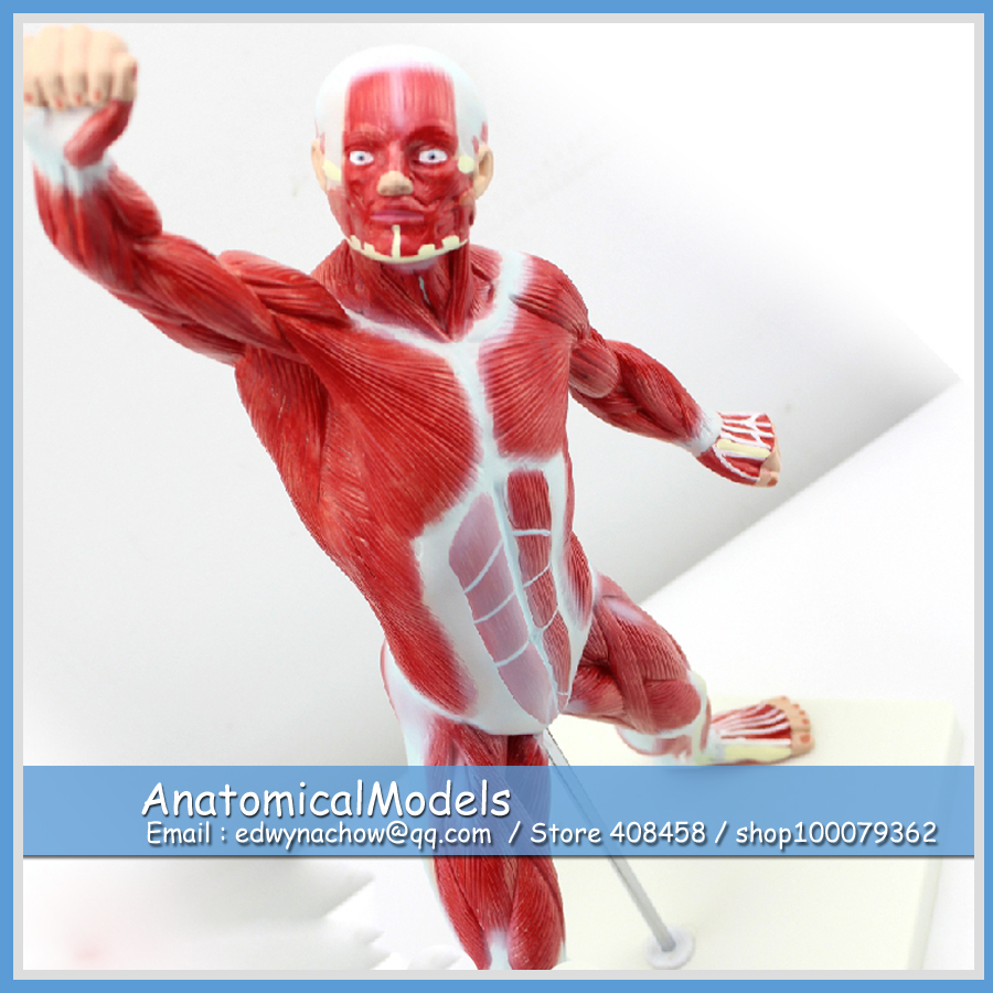 ED-MUSCLE05 Desktop 50cm Muscles of Male ,  Medical Science Educational Teaching Anatomical Models