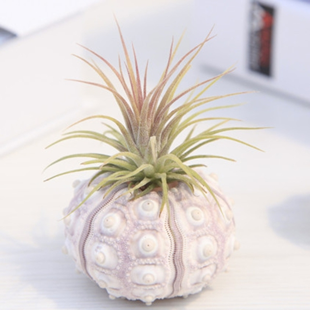 Top Quality Air Plants Sea Urchin Tabletop Tillandsia Holder Miniature Gardening Decorations Aug 31a