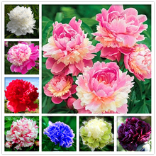 Buy  r seeds Chinese Paeonia Suffruticosa seeds  online