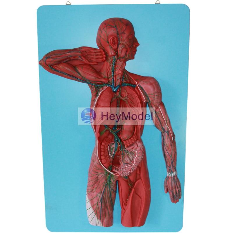 HeyModel Lymphatic system model