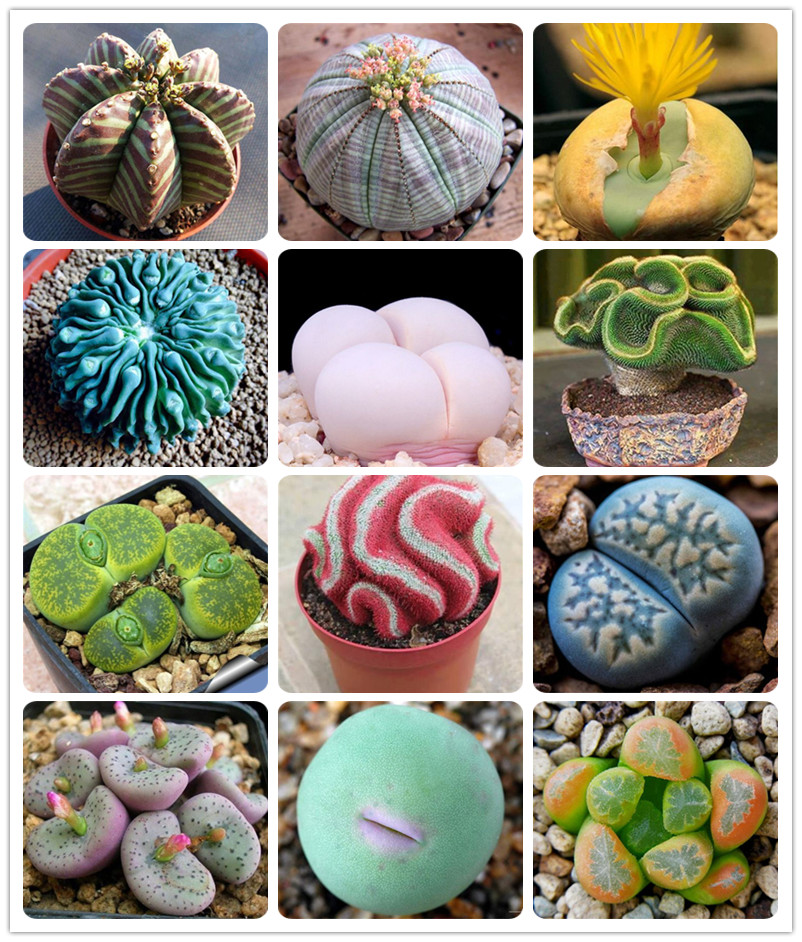 500 Pcs Rare Beauty Succulent Planter Bonsai Mix Lithops Potted Pseudotruncatella Living Stone Garden Succulents-plants Flower