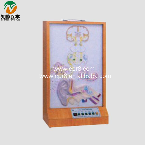 BIX-A1075  Auditory Conduction Electric Model  G190 bix a1079 electric portal collateral circulation model g156