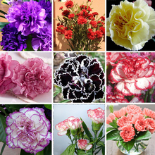 Hot Selling 16 Colors Available Carnation Seeds Perennial flowers Potted Garden Plants Dianthus Caryophyllus Flower Seed 300 Pcs