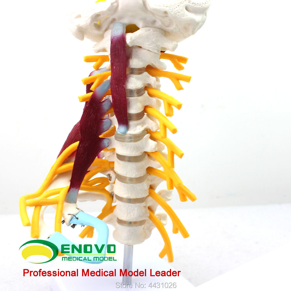 ENOVO A model of human bone specimen in the brachial plexus muscle model of the human cervical spine
