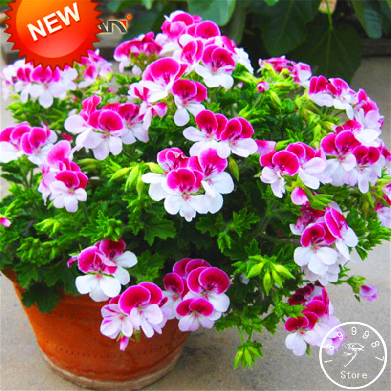 20 pcs two color red white univalve geranium seeds perennial flower aeproducttsubject mightylinksfo Images